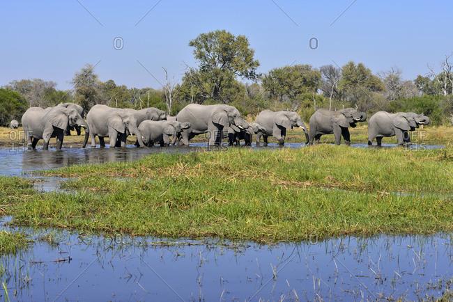 Africa- Namibia- Bwabwata National Park- Kwando river- herd of elephants- Loxodonta africana
