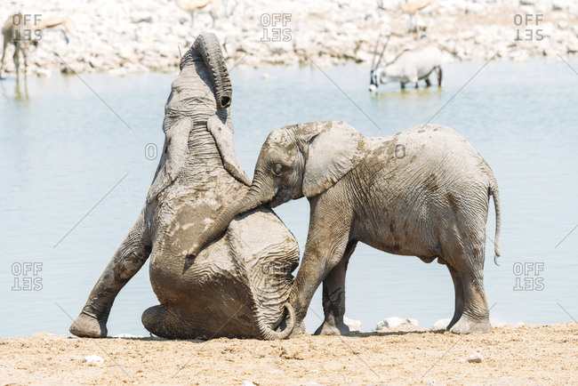 Africa- Namibia- Baby elephants playing next to a waterhole in Etosha National Park