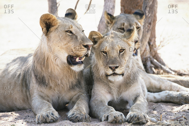 Africa- Namibia- Family of lions resting in Etosha National Park