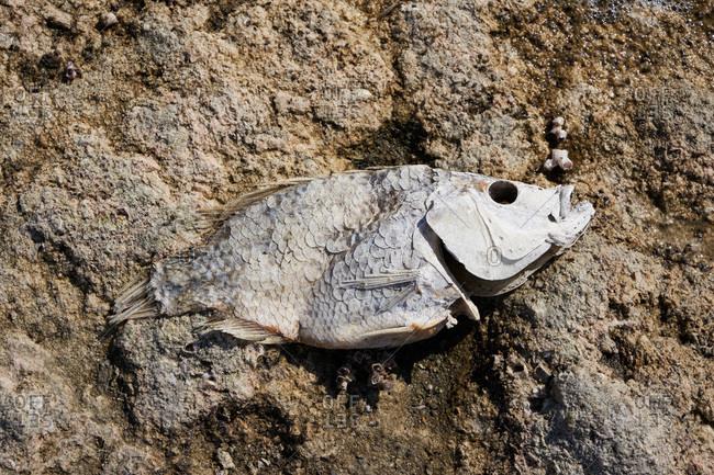 Dead fish in the sand, Salton Sea, California