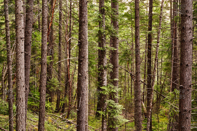 Redwood trees in the Jedediah Smith Redwoods State Park, California