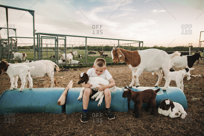 A boy in a pen with baby goats