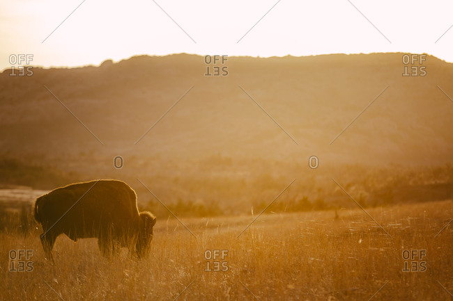 Solitary bison grazing on the grassy plains in the sunlight