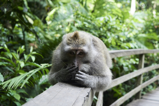 Male monkey covering mouth while lying in a fence at the Monkey Forest, Ubud, Indonesia