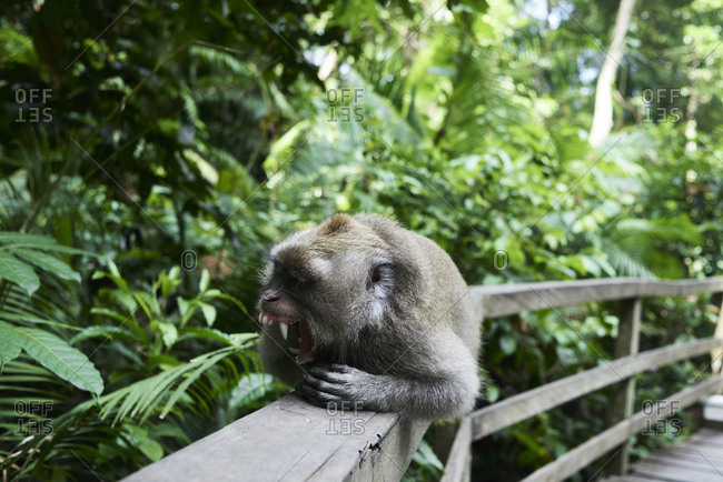 Male monkey yawning while lying in a fence at the Monkey Forest, Ubud, Indonesia