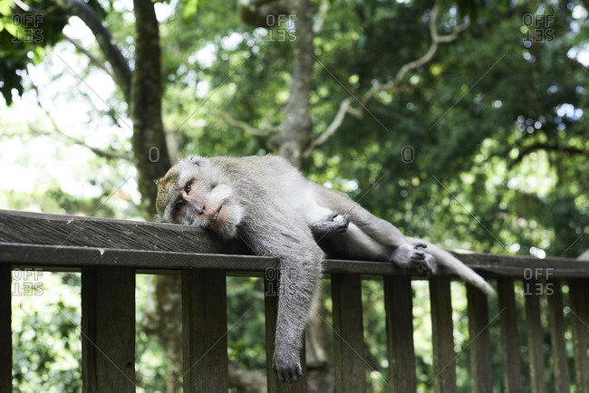 Portrait of male monkey resting on fence in Monkey Forest, Ubud, Indonesia