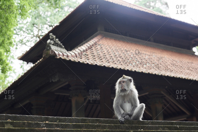 Portrait of male monkey sitting against temple wall in Monkey Forest, Ubud, Indonesia