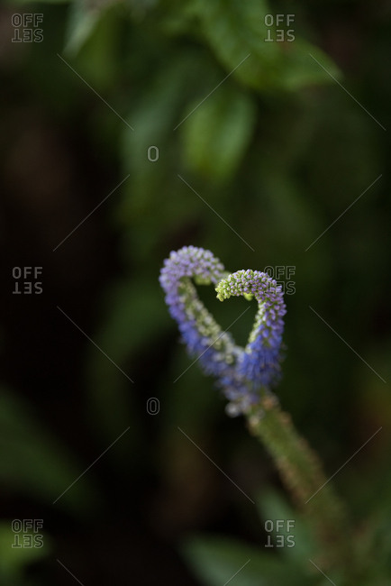 Purple flower blooming in the shape of a heart