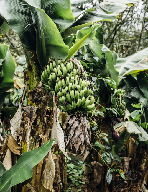 Banana tree in Peru