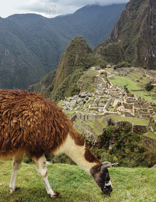 Llama grazing on edge of cliff over Peruvian ruins in Andes Mountains