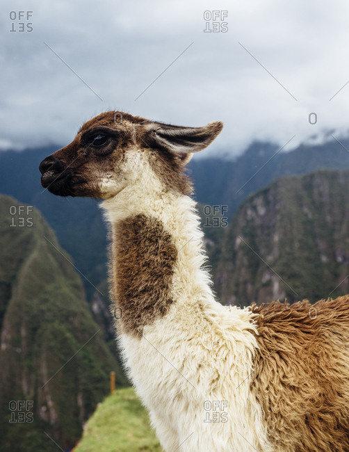 Dark-eyed llama standing in Andes mountains