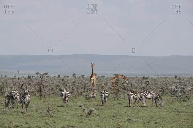 Zebras and giraffes grazing in the Maasai Mara National Reserve, Kenya