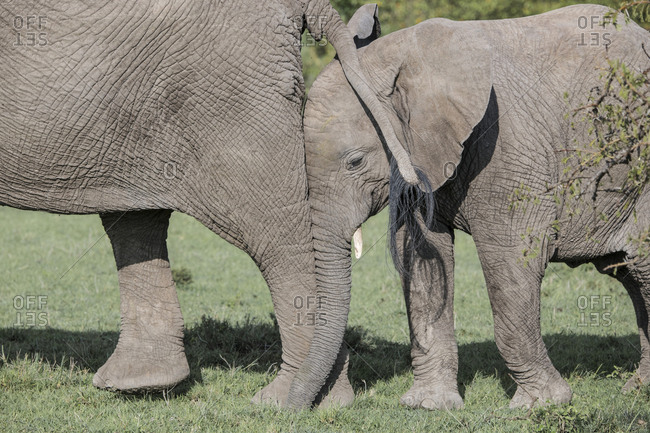 Young elephant nuzzling against its mother's leg in the Maasai Mara National Reserve, Kenya