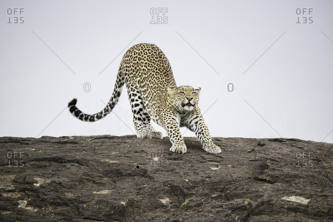Leopard stretching on a rock against the sky in the Maasai Mara National Reserve, Kenya