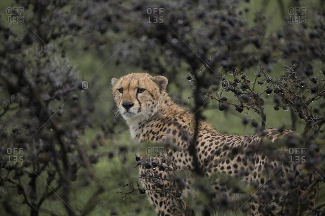 Cheetah framed through acacia branches in the rain in the Maasai Mara National Reserve, Kenya