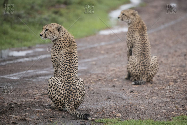 Two cheetahs in the rain in the Maasai Mara National Reserve, Kenya