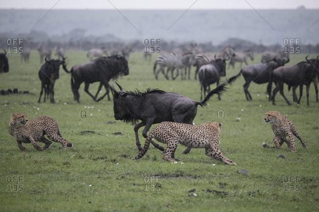Three cheetahs chasing a young wildebeest in the rain in the Maasai Mara National Reserve, Kenya