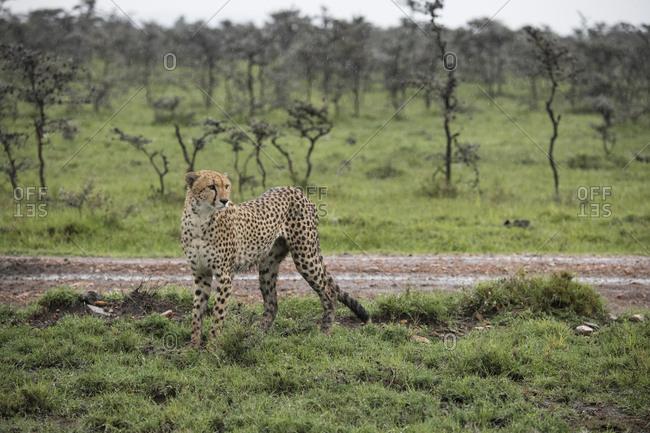 Cheetah in the rain in the Maasai Mara National Reserve, Kenya