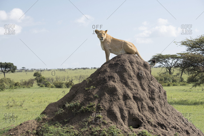 Female lion sitting on a termite mound to get a better view of potential prey in the Maasai Mara National Reserve, Kenya