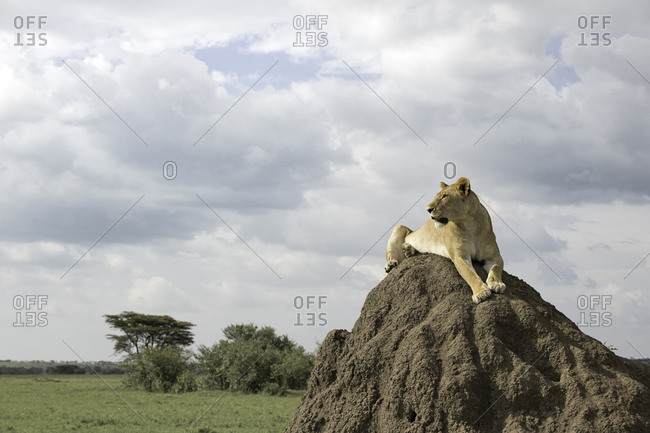 Female lion sitting on a termite mound for a better view of potential prey in the Maasai Mara National Reserve, Kenya