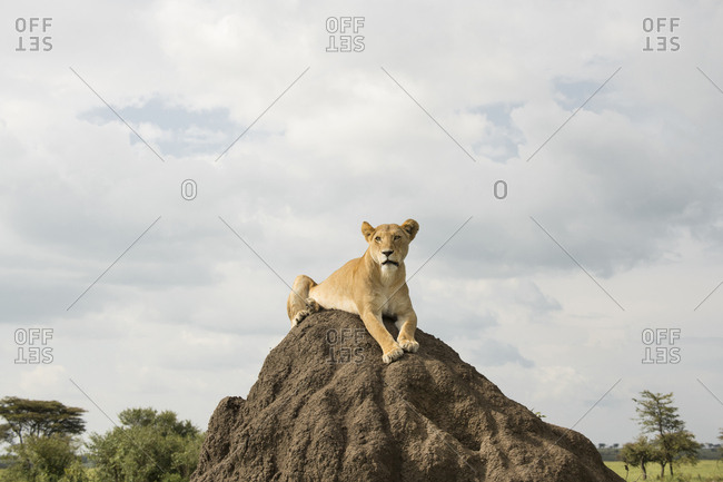 Female lion on a termite mound to get a better view of potential prey in the Maasai Mara National Reserve, Kenya