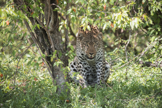 Female leopard watching potential prey from the cover of a tree in the Maasai Mara National Reserve, Kenya
