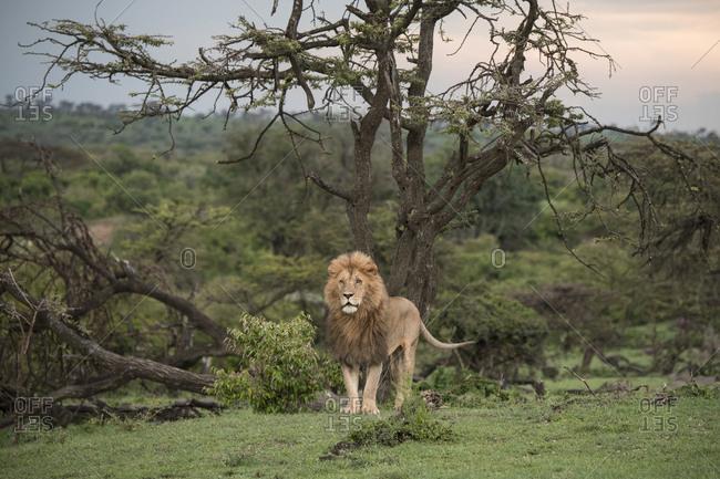 Portrait of the lion king in the Maasai Mara National Reserve, Kenya