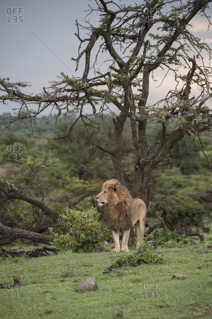 The lion king in the Maasai Mara National Reserve, Kenya