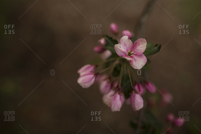 Close-up of pink blossoms on an apple tree