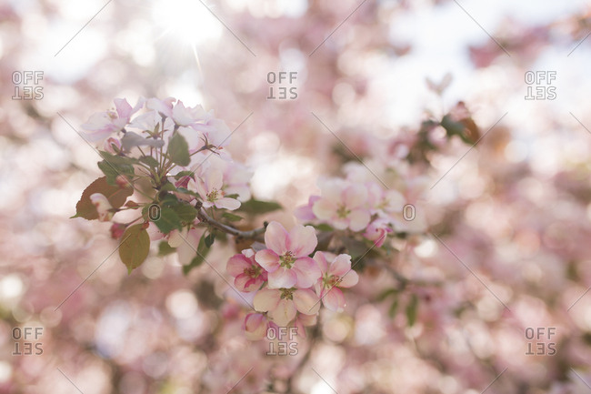 Pink flowers blooming on an apple tree