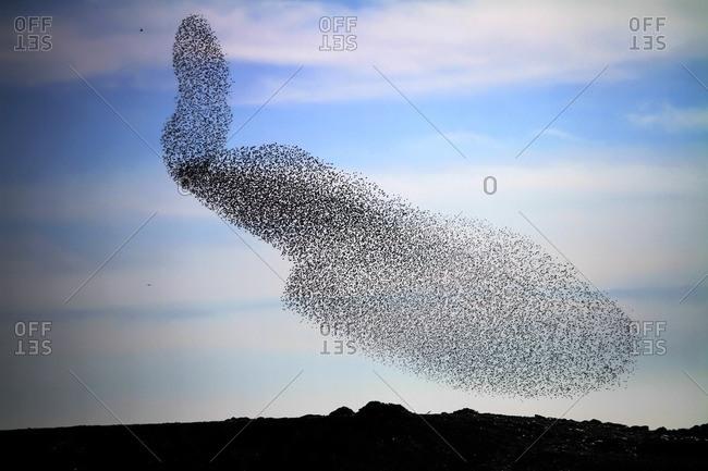 Large common starling (Sturnus vulgaris) murmuration in the evening before roosting