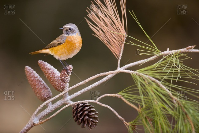 Male redstart (Phoenicurus phoenicurus) perched on a pine tree branch