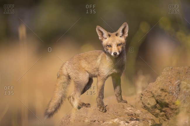 Juvenile red fox (Vulpes vulpes)