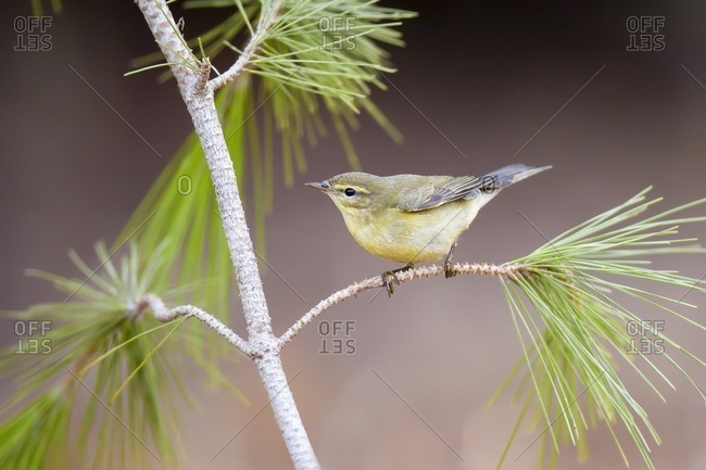Common chiffchaff (Phylloscopus collybita) perched on a pine tree branch