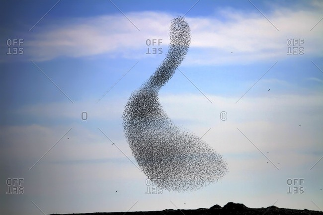 Large common starling (Sturnus vulgaris) murmuration in the evening before roosting
