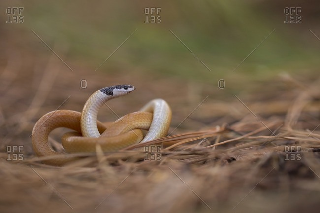Black-headed ground snake (Rhynchocalamus melanocephalus)