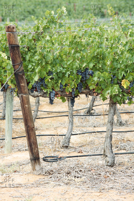 Grapes on vines, near Klawer, Western Cape, South Africa