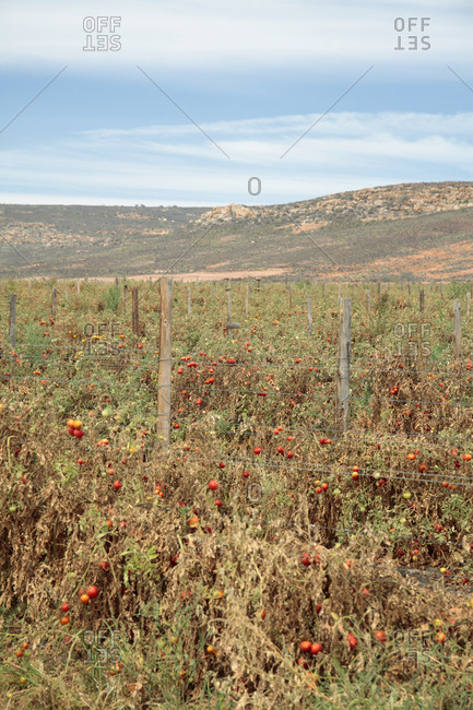 Tomato crop affected by drought, near Klawer, Western Cape, South Africa