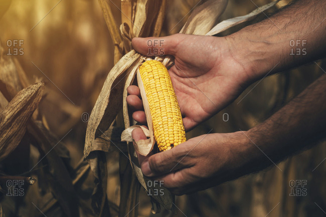 Farmer checking corn crop