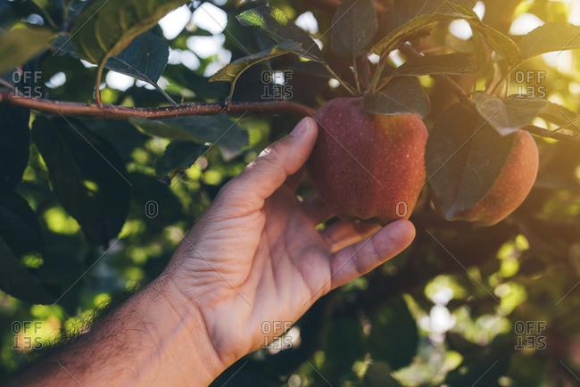 Farmer picking apple