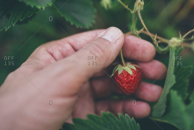 Farmer checking strawberries