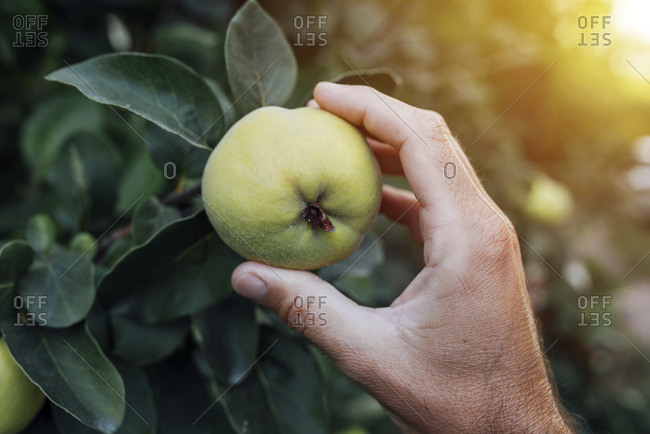 Farmer checking quince fruit