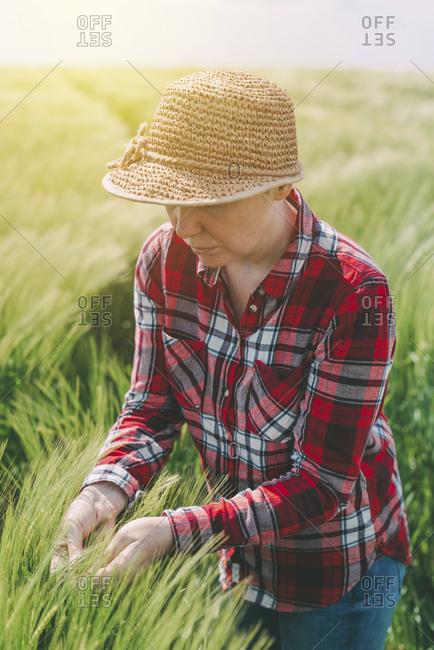 Farmer examining wheat crop