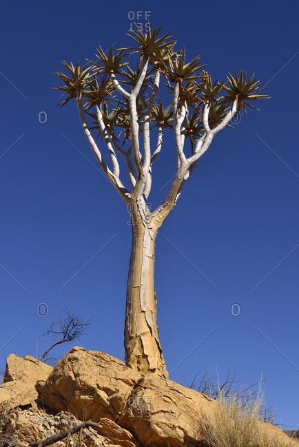 Africa- Namibia- Quiver tree- Aloe dichotoma