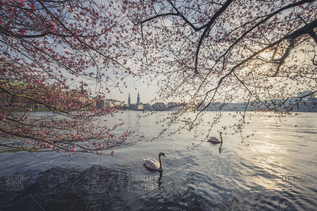 Germany- Hamburg- Germany- Hamburg- blossoming cherry tree at Binnenalster- swimming mute swans