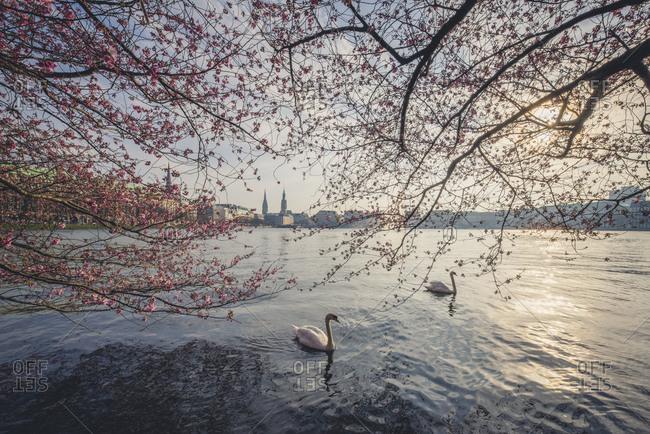 Germany- Hamburg- Germany- Hamburg- blossoming cherry tree at Binnenalster- swimming mute swans