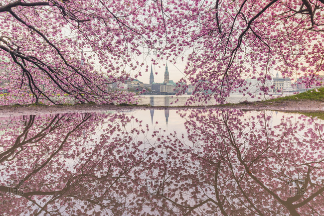 Germany- Hamburg- Germany- Hamburg- blossoming cherry tree at Binnenalster- water reflections of town hall and St. Nicholas' Church