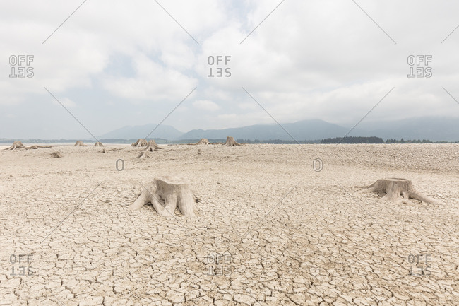 Tree stumps poking out of cracked earth of lake Forggensee in Germany