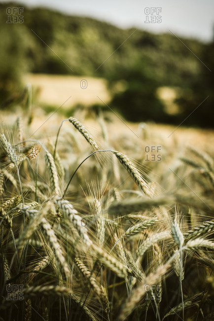 Rye growing in a field
