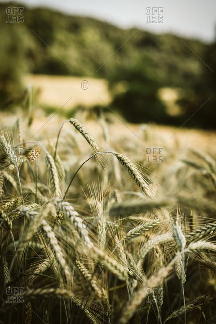 Rye growing in a field